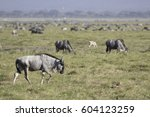 Young Wildebeest Antelope...