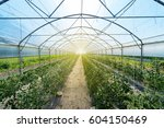 Rows of tomato plants growing...