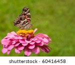 Colorful American Painted Lady...