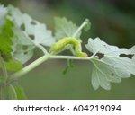 Cabbage White Caterpillar...