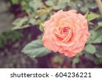 Stock photo rose in the garden 604236221