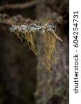 Small photo of Usnea lichen
