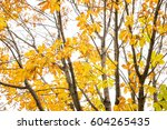 Small photo of Autumn japanese horse chestnut leaves(Aesculus turbinata) in front of white sky