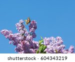 lilac flowers. swallowtail... | Shutterstock . vector #604343219