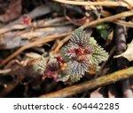 fresh  common nettle  urtica... | Shutterstock . vector #604442285