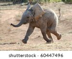 Stock photo excited baby african elephant running to a waterhole 60447496