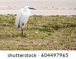Snowy Egret Standing On One Le...