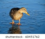 Wild Duck  Stands On Thin Ice...