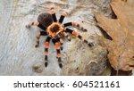 birdeater tarantula spider... | Shutterstock . vector #604521161