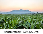 The Corn Field Land In The...