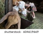Small photo of Girls fondle goats inside a stable, Italy
