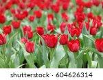 the tulips field color flower... | Shutterstock . vector #604626314