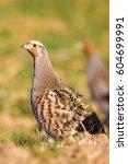 Wild Bird Partridge. Warm...