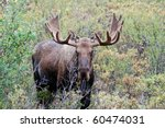 Bull Or Buck Moose In Denali...