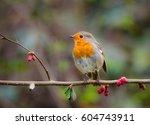 garden birds. robin  erithacus...   Shutterstock . vector #604743911