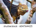 Galapagos Land Iguana  An...