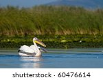 white pelican taking off from... | Shutterstock . vector #60476614