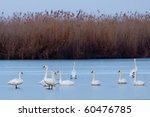 mute swans flock on ice in... | Shutterstock . vector #60476785