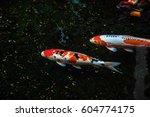 fancy carp swimming in the pond | Shutterstock . vector #604774175