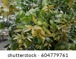 Small photo of Agathis robusta
