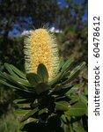 An Australian Banksia Flower...