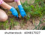woman farmer takes care of the... | Shutterstock . vector #604817027
