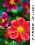 Small photo of Red Osteospermum Ecklonis African Daisy