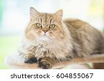 Cute Persian Cat Lying On Cat...