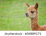 cute baby alpaca | Shutterstock . vector #604889171