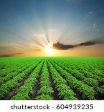Potato Field With Green Shoots...