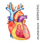 the human heart viewed from the ... | Shutterstock . vector #604941941