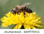 Bee Feeding On Dandelion Flower.