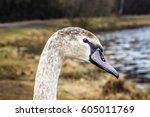 whooper swan near the shore of... | Shutterstock . vector #605011769