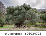 the oldest known olive tree... | Shutterstock . vector #605034725
