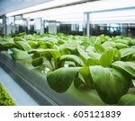 greenhouse plant row grow with... | Shutterstock . vector #605121839