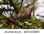Red Eyed Dove Sitting In A...