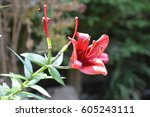 red lily flower and green leaves | Shutterstock . vector #605243111