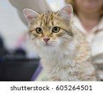 siberian cat the siberian cat... | Shutterstock . vector #605264501