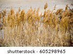 Feather Grass On The Coast Of...
