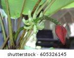 banana blossom | Shutterstock . vector #605326145