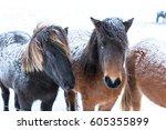 cute icelandic horses in snowy...   Shutterstock . vector #605355899