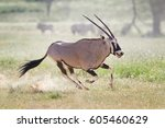 gemsbok  oryx gazella  dominant ... | Shutterstock . vector #605460629