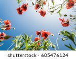 Red Poppies With The Blue Sky...