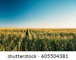 green maize corn field... | Shutterstock . vector #605504381