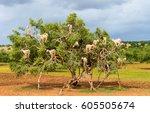 Goats Graze In An Argan Tree  ...