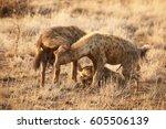 spotted hyena  crocuta crocuta  ... | Shutterstock . vector #605506139