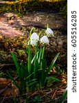 first flowers in springtime. spring snowflake also called Leucojum on a blurred background of log on forest meadow in sunlight. snowbell closeup. - stock photo