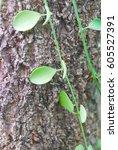 Small photo of Green dischidia nummularia variegated on bark tree