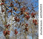 Small photo of The red alder catkins. The beautiful flowers of early spring.
