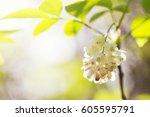 sunny background staphylea... | Shutterstock . vector #605595791